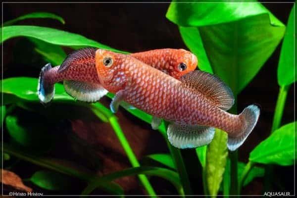 Nothobranchius kafuensis - Kayuni