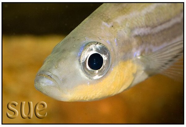 Benthochromis horii - Man close up
