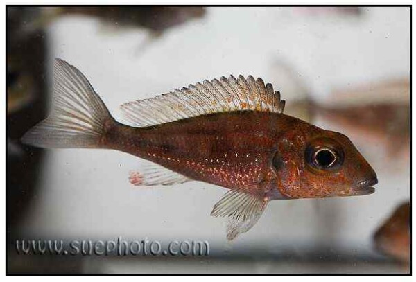 Callochromis macrops - Ndole Red