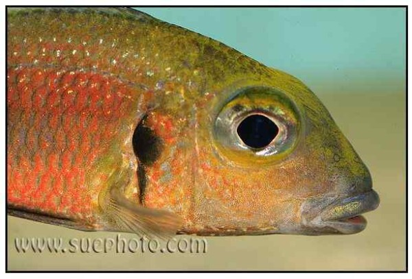 Callochromis macrops - Ndole Red - Close Up