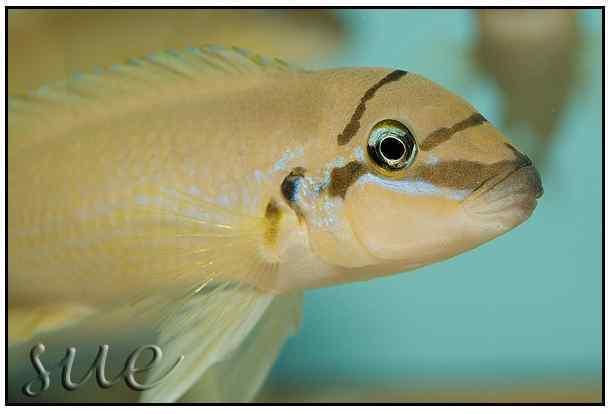Chalinochromis brichardi Black Mask