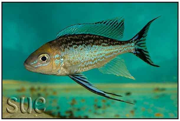 Cyathopharynx furcifer - Cape Kachese man