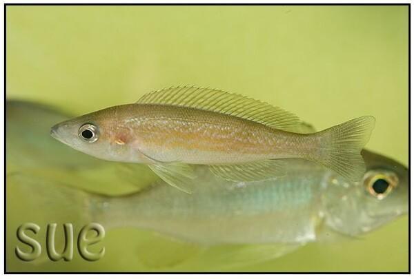 Cyprichromis microlepidotus Karilani vrouw