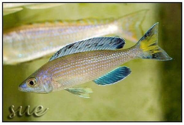 Cyprichromis microlepidotus Kitumba man