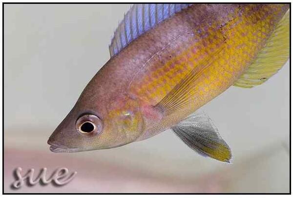 Cyprichromis zonatus - Close up