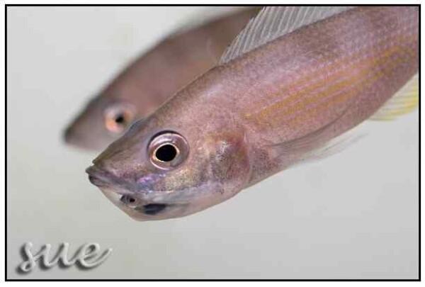 Cyprichromis zonatus - Vrouw met jongen in haar muil.