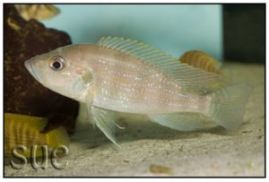 Greenwoodochromis christyi - Chaitika
