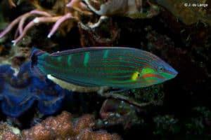 Halichoeres melanurus - Regenboog Lipvis