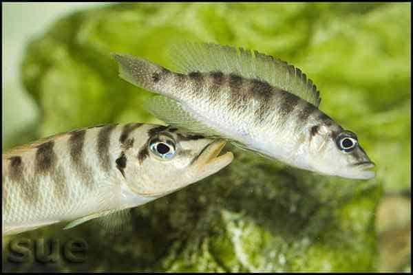 Neolamprologus fasciatus - Paringsdans