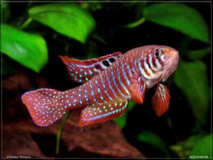 Simpsonichthys