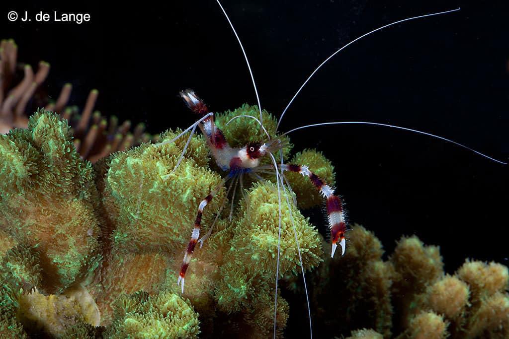 Stenopus hispidus - Kappersgarnaal