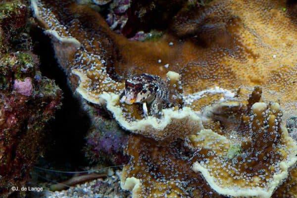 Synchiropus marmoratus - Rode Dwergpitvis