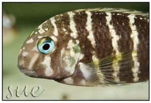Tropheus polli - Kekese