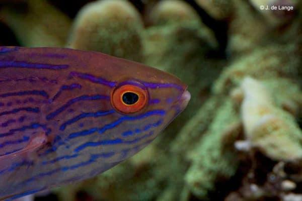 Cirrhilabrus lineatus - Vrouw - Close up