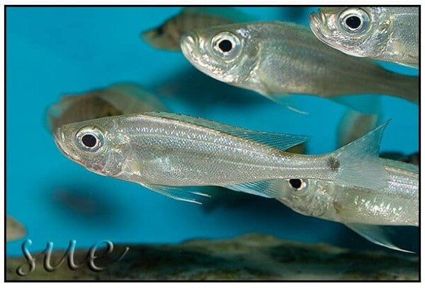 Haplotaxodon microlepis