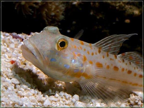 Valenciennea puellaris - Oranje Zandhapper