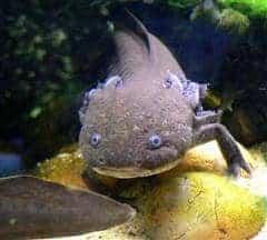 Axolotl ambystoma - Mexicanum