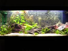 Axolotl - Ambystoma mexicanum - Aquarium