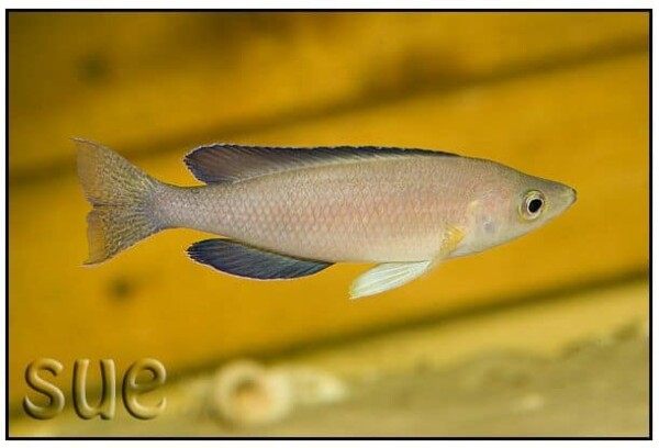 Cyprichromis sp. Leptosoma Jumbo Kekese