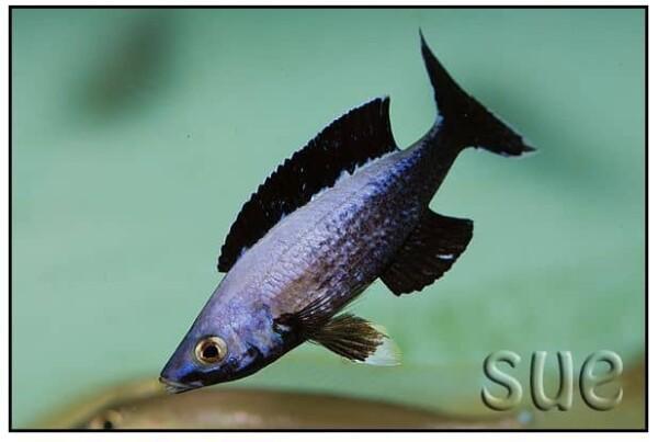 Cyprichromis sp. Leptosoma Jumbo Kitumba