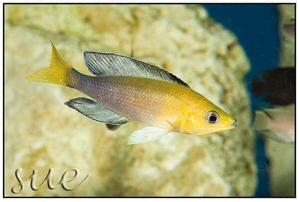 Cyprichromis sp. Leptosoma Jumbo Mpimbwe Yellow Head