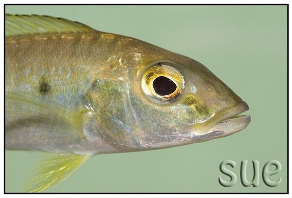 Boulengerochromis microlepis - Close up van de kop