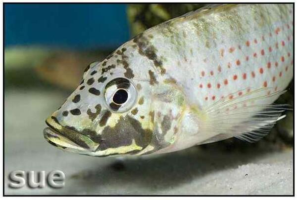 Ctenochromis horei - Close up