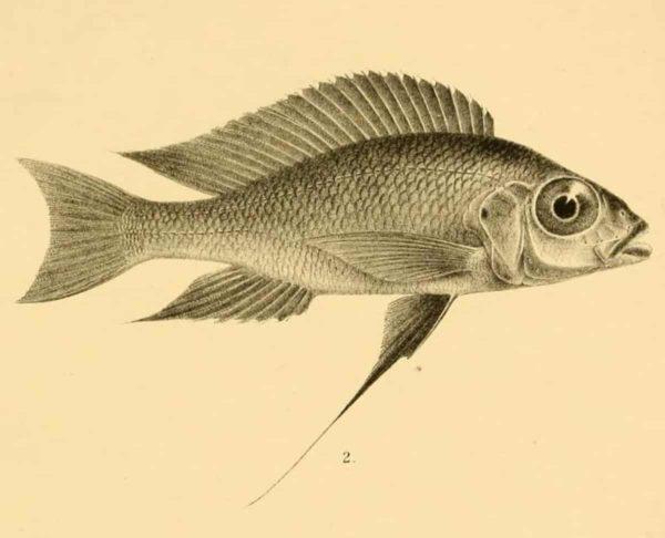 Cunningtonia longiventralis - Tekening van Boulenger uit de Eerstbeschrijving1