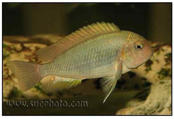 Pseudosimochromis curvifrons - Isanga Bay