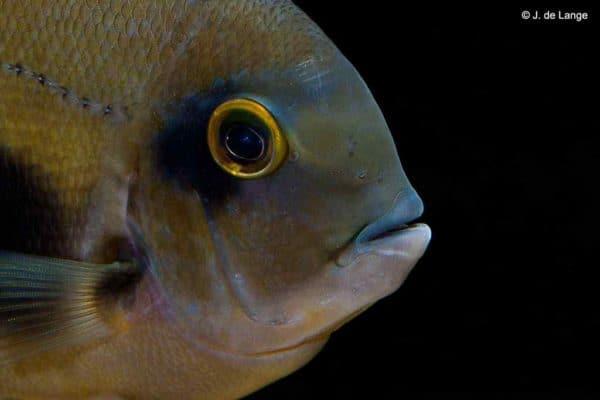 Uaru amphiacanthoides - Close up