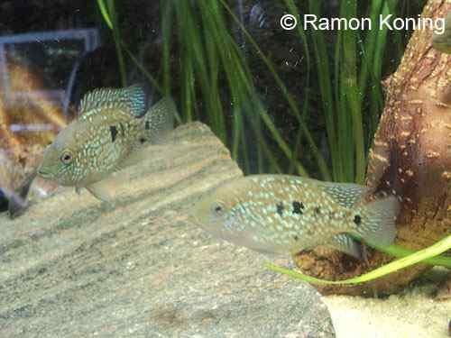 Herichthys carpintis - Parelmoercichlide