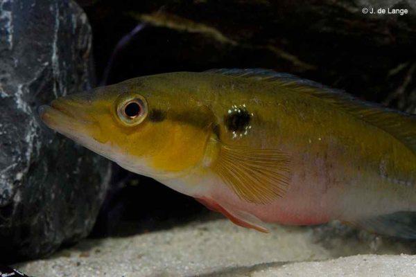 Crenicichla lepidota - Vrouw