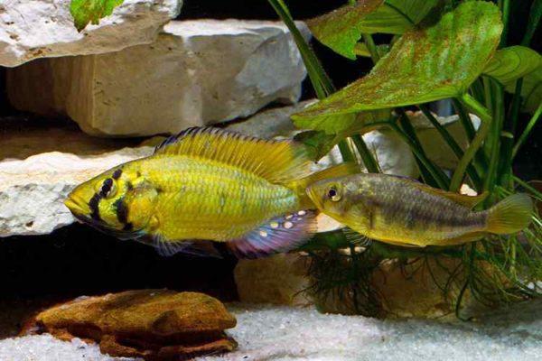 Astatoreochromis alluaudi - Man baltst naar de vrouw