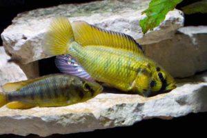 Astatoreochromis