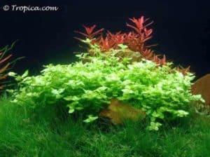 Bacopa australis in het aquarium