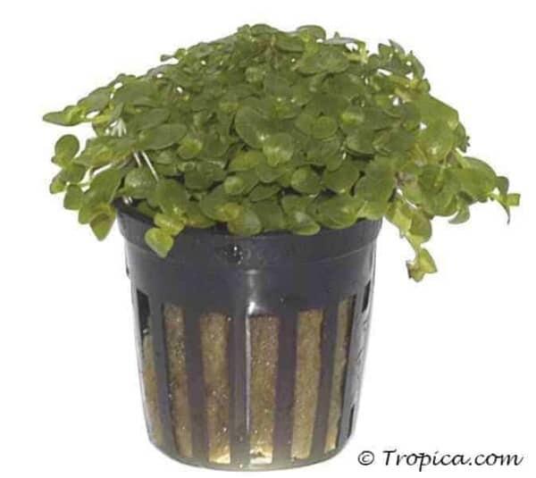 Bacopa australis in potje
