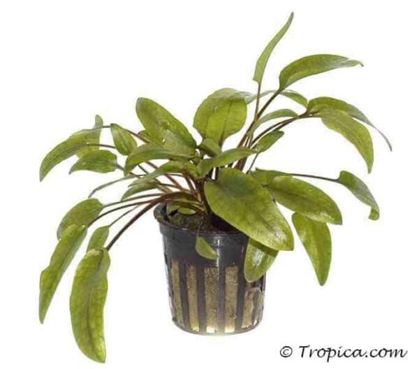 "Cryptocoryne wendtii ""Green"" in pot"