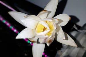 Nymphaea Zenkeri - Rode Tijgerlotus bloem