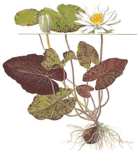 Nymphaea zenkeri - Rode Tijgerlotus tekening