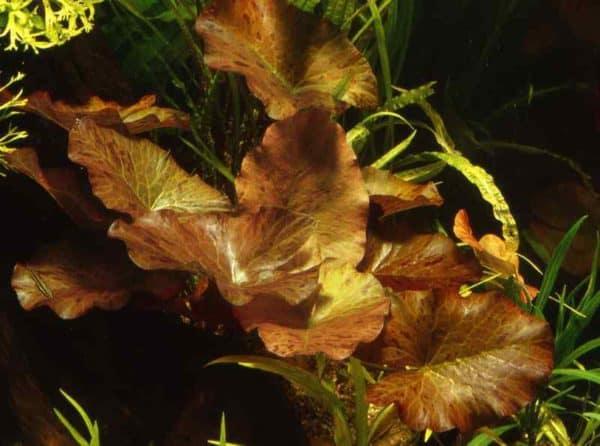 Nymphaea zenkeri - Rode Tijgerlotus in het aquarium