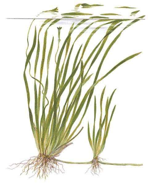 Vallisneria spiralis - Tekening