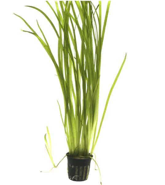 Vallisneria spiralis in pot