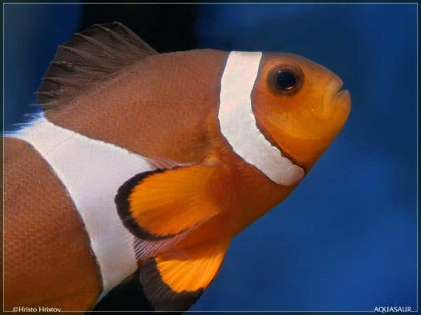 Amphiprion ocellaris - Driebands Anemoonvis - Close up