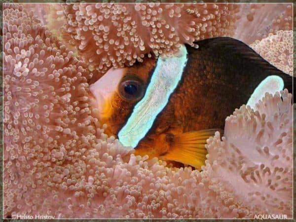 Amphiprion clarkii - Zwarte Anemoonvis