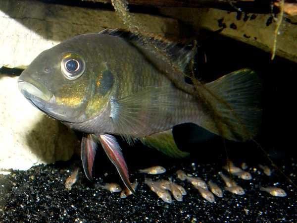 Benitochromis nigrodorsalis - Man bewaakt jongen