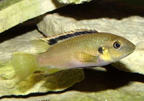 Benitochromis nigrodorsalis - Vrouw
