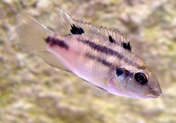 Benitochromis nigrodorsalis - Vrouw in de stress