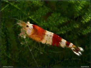 Caridina cantonensis - Red Crystal