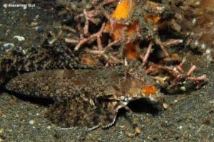 Dactylopus