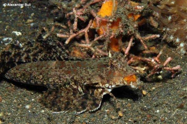 Dactylopus kuiteri - Oranje Zwarte Pitvis